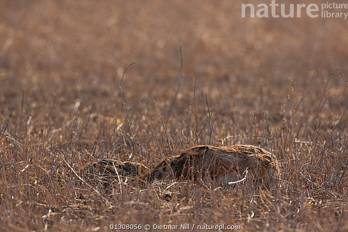 European hare (Lepus europaeus) and leveret lying low in field for camouflage, Slovakia, BABIES,BEHAVIOUR,BROWN,CAMOUFLAGE,EUROPE,FAMILIES,HARES,LAGOMORPHS,MAMMALS,MOTHER BABY,SLOVAKIA,VERTEBRATES, Dietmar Nill