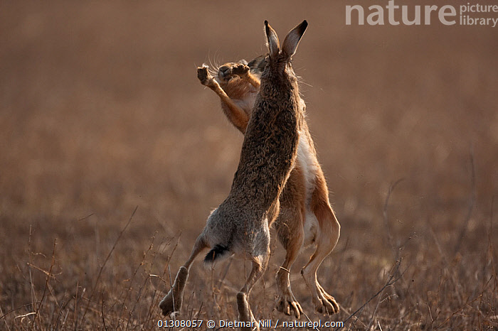 European hare (Lepus europaeus) pair boxing in field, Slovakia, ACTION,AGGRESSION,BEHAVIOUR,BOXING ,BROWN,CAMOUFLAGE,catalogue3,close up,CLOSE UPS,copyspace,EUROPE,Field,FIGHTING,FUR,HARES,hind legs,HUMOROUS,humour,lagomorphs,LEAPING,male animal,MALE FEMALE PAIR,MALES,MAMMALS,MATING BEHAVIOUR,Nobody,outdoors,playful,rear legs,rivalry,slovakia,SPRING,STANDING,TERRITORIAL,two,two animals,VERTEBRATES,VERTICAL,WILDLIFE,Concepts, Dietmar Nill