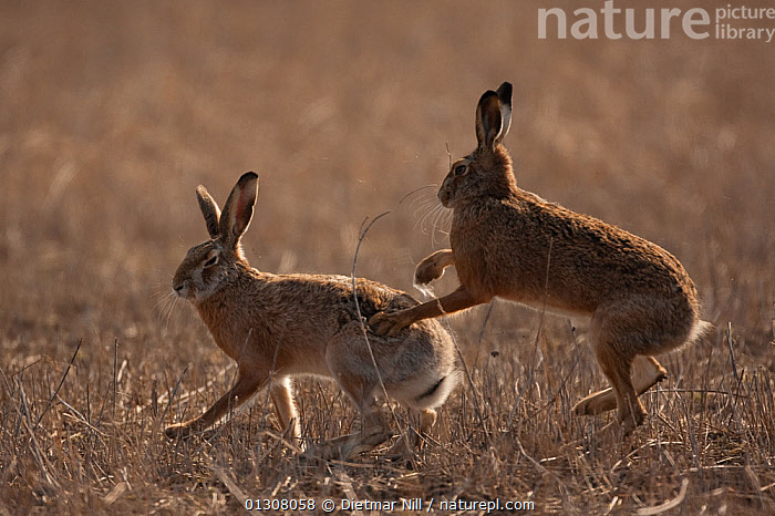 European hare (Lepus europaeus) mating pair interacting in field, Slovakia, BEHAVIOUR,BROWN,CAMOUFLAGE,EUROPE,HARES,LAGOMORPHS,MALE FEMALE PAIR,MAMMALS,MATING BEHAVIOUR,RUNNING,SLOVAKIA,VERTEBRATES, Dietmar Nill