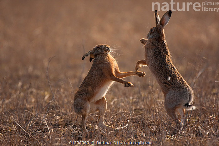 European hare (Lepus europaeus) mating pair boxing in field, Slovakia, BEHAVIOUR,BROWN,CAMOUFLAGE,EUROPE,FIGHTING,HARES,LAGOMORPHS,MALE FEMALE PAIR,MAMMALS,MATING BEHAVIOUR,SLOVAKIA,VERTEBRATES,Aggression, Dietmar Nill