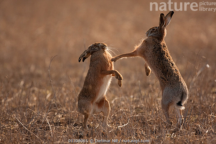European hare (Lepus europaeus) mating pair boxing in field, Slovakia, AGGRESSION,BEHAVIOUR,BOXING ,BROWN,CAMOUFLAGE,catalogue3,Conflict,EUROPE,face to face,Field,FIGHTING,full length,HARES,hind legs,JUMPING,lagomorphs,LEAPING,MALE FEMALE PAIR,MAMMALS,mating,MATING BEHAVIOUR,Nobody,outdoors,Pair,rear legs,side view,slovakia,SPRING,STANDING,Tarnung,two animals,VERTEBRATES,WILDLIFE, Dietmar Nill