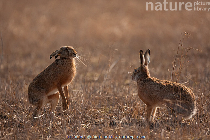 European hare (Lepus europaeus) mating pair in stand off in field, Slovakia, BEHAVIOUR,BROWN,CAMOUFLAGE,EUROPE,HARES,INTERACTION,LAGOMORPHS,MALE FEMALE PAIR,MAMMALS,MATING BEHAVIOUR,SLOVAKIA,SPRING,TWO,VERTEBRATES, Dietmar Nill