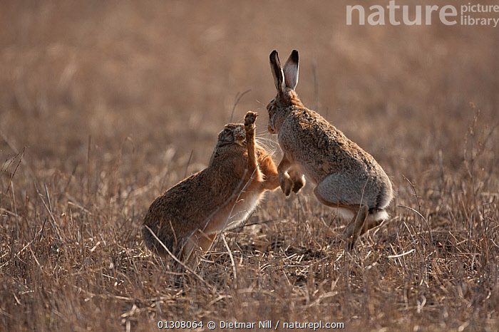 European hare (Lepus europaeus) mating pair boxing in field, Slovakia, BEHAVIOUR,BROWN,CAMOUFLAGE,EUROPE,HARES,JUMPING,LAGOMORPHS,MALE FEMALE PAIR,MAMMALS,MATING BEHAVIOUR,SLOVAKIA,SPRING,TWO,VERTEBRATES, Dietmar Nill