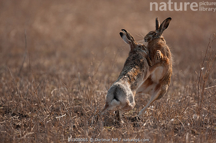 European hare (Lepus europaeus) mating pair boxing in field, Slovakia, BEHAVIOUR,BROWN,CAMOUFLAGE,EUROPE,HARES,JUMPING,LAGOMORPHS,LEAPING,MALE FEMALE PAIR,MAMMALS,MATING BEHAVIOUR,SLOVAKIA,VERTEBRATES, Dietmar Nill