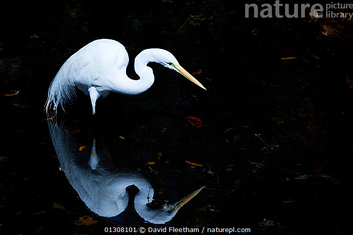 Great egret (Ardea alba) hunting, with reflection in shallows of the Everglades. Florida, USA., ARTY-SHOTS, BEHAVIOUR, BIRDS, egretta alba, ELEGANCE, great white heron, HERONS, HUNTING, NORTH-AMERICA, NP, REFLECTIONS, USA, VERTEBRATES, WETLANDS,CONCEPTS,National Park,North America, David Fleetham