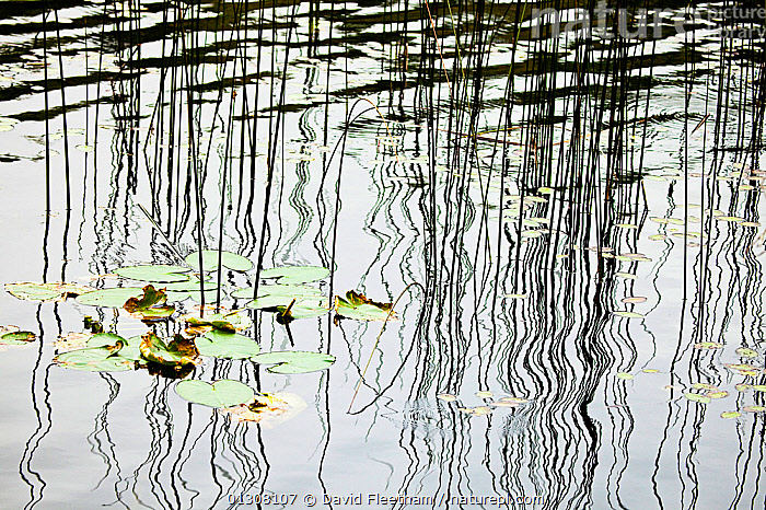 Reflection of grass reeds and lily pads on the surface of lake near Sechelt, British Columbia, Canada., ABSTRACT,CANADA,FRESHWATER,GRAMINEAE,GRASSES,LAKES,LILIACEAE,MONOCOTYLEDONS,NORTH AMERICA,PLANTS,POACEAE,REFLECTIONS,RIPPLES,SURFACE,WATER, David Fleetham