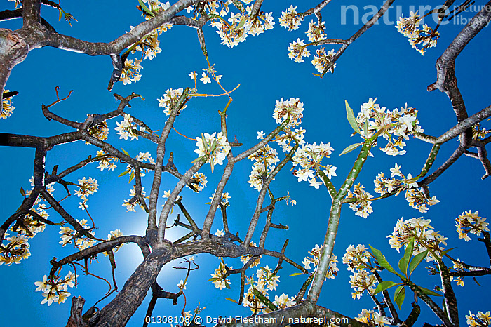 View up through the blossom of a Frangipani tree (Plumeria sp) Maui, Hawaii., APOCYNACEAE,ARTY SHOTS,BLUE,BRANCHES,DICOTYLEDONS,FLOWERS,HAWAII,LOW ANGLE SHOT,PACIFIC ISLANDS,PLANTS,TREES, David Fleetham