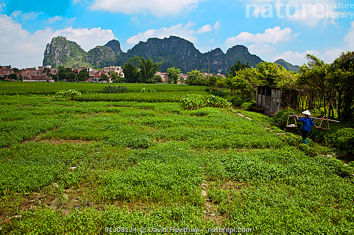 Woman carrying produce in Rice (Oryza sp.) field in the village of Yiling, Nanning, Guangxi, China., AGRICULTURE,ASIA,CARRYING,CHINA,CROPS,GRAMINEAE,GRASSES,LANDSCAPES,MONOCOTYLEDONS,MOUNTAINS,paddy,PEOPLE,PLANTS,POACEAE,TOWNS,VILLAGES,WOMAN,WORKING, David Fleetham