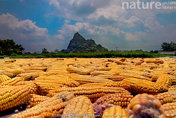 Corn / maize cobs drying in midday sun in front of village of Yiling, Nanning, Guangxi, China., AGRICULTURE,ASIA,CHINA,COB,CORN,CROPS,EDIBLE,HARVESTING,LANDSCAPES,MOUNTAINS,PLANTS, David Fleetham