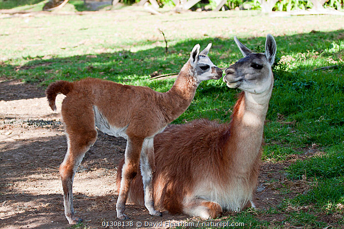 Mother and baby Alpaca (Lama / Vicugna pacos) touching noses. Otavalo, Ecuador., AFFECTIONATE,ARTIODACTYLA,BABIES,BEHAVIOUR,CAMELIDS,COMMUNICATION,CUTE,ECUADOR,FAMILIES,KISSING,LLAMAS,MAMMALS,MOTHER BABY,SOUTH AMERICA,VERTEBRATES,concepts, David Fleetham