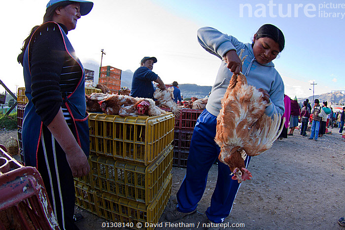 Bound chickens (Gallus gallus domesticus) for sale in a large open Indian market shortly after dawn in the town of Otavalo, Ecuador., BIRDS,CAGES,CAPTIVE,CHICKENS,ECUADOR,FOWL,GROUPS,HEN,LIVESTOCK,MARKETS,PEOPLE,POULTRY,SOUTH AMERICA,TOWNS,TRADE,WOMEN,SOUTH-AMERICA, David Fleetham