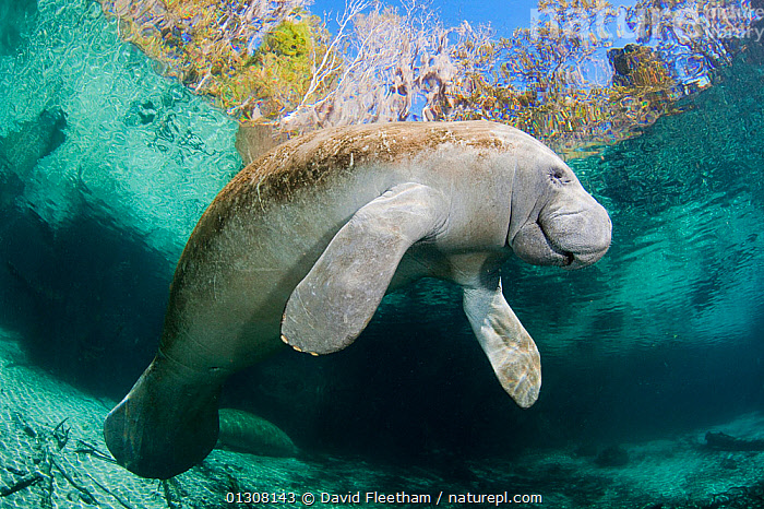 Florida manatee (Trichechus manatus latirostris) at Three Sisters Spring in Crystal River, Florida, USA., ENDANGERED,EXPRESSIONS,FRESHWATER,MAMMALS,MANATEES,MARINE,NORTH AMERICA,RIVERS,SPRINGS,SURFACE,TROPICAL,UNDERWATER,USA,VERTEBRATES,Sirenia, David Fleetham