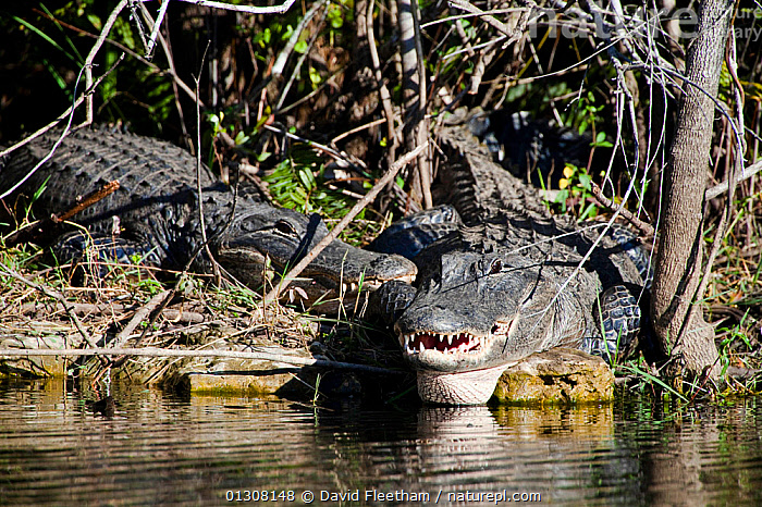 American alligators (Alligator mississippiensis) on river bank, Everglades National Park, Florida., ALLIGATORS,CROCODILIANS,FRESHWATER,NORTH AMERICA,NP,REPTILES,RIVERS,TWO,USA,VERTEBRATES,WETLANDS,National Park,Crocodylia, David Fleetham