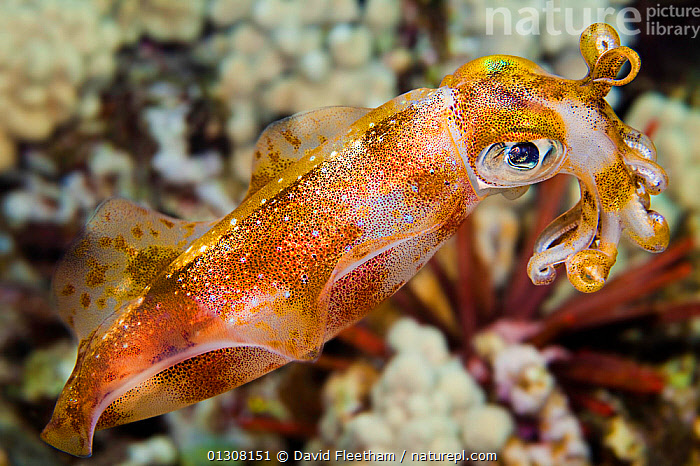 Male Big fin reef / Oval squid (Sepioteuthis lessoniana), which can reach 14 inches in length. Hawaii., CEPHALOPODS,HAWAII,INVERTEBRATES,IRRIDESCENT,MARINE,MOLLUSCS,PACIFIC,PACIFIC ISLANDS,PORTRAITS,SQUID,TENTACLES,TROPICAL,UNDERWATER,USA,North America, David Fleetham