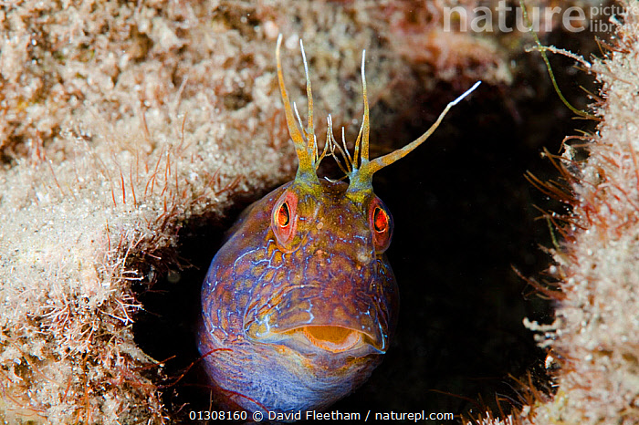 Seaweed blenny (Parablennius marmoreus) peeping out from crevice. Florida, USA., ATLANTIC,BLENNIES,BLENNIIDAE,CONCEPTS,EXPRESSIONS,FACES,FISH,MARINE,NORTH AMERICA,OSTEICHTHYES,PORTRAITS,TROPICAL,UNDERWATER,USA,VERTEBRATES, David Fleetham