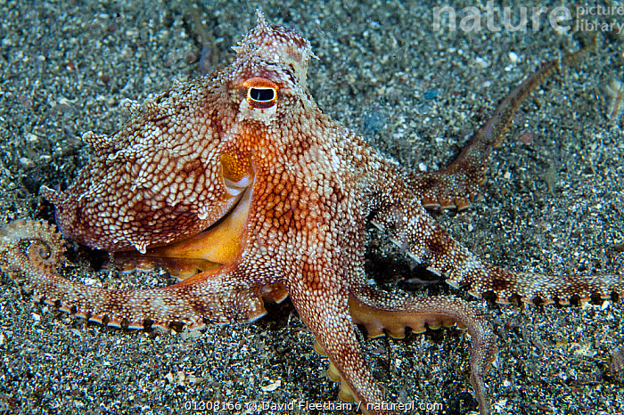 Short armed sand octopus (Amphioctopus arenicola) lives in a small hole on sandy seabed, endemic, Maui, Hawaii., CAMOUFLAGE,CEPHALOPODS,HAWAII,INVERTEBRATES,MARINE,MOLLUSCS,OCTOPUS,OCTOPUSES,PACIFIC,PACIFIC ISLANDS,SEA BED,TROPICAL,UNDERWATER,USA,North America, David Fleetham