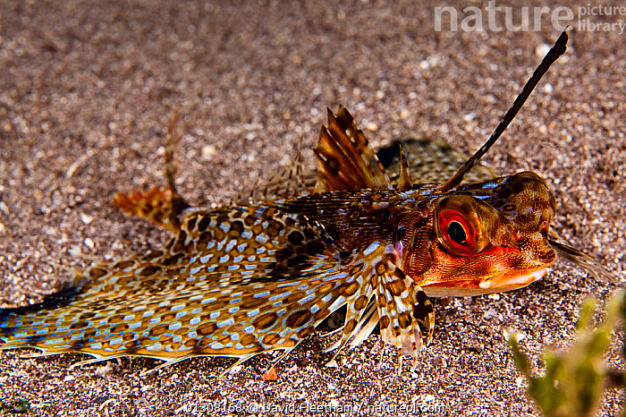 Oriental flying gunard (Dactylopterus orientalis) with enormous pectoral fins. Hawaii., FINS,FISH,GUNARDS,HAWAII,MARINE,OSTEICHTHYES,PACIFIC,PACIFIC ISLANDS,PECTORAL,PORTRAITS,SEA BED,TROPICAL,UNDERWATER,VERTEBRATES,USA,North America, David Fleetham