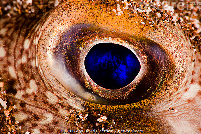 Close-up of eye of Randall's puffer (Torquigener randalli) burried in sand at night, Hawaii., ABSTRACT,CLOSE UPS,EYES,FISH,HAWAII,MARINE,OSTEICHTHYES,PACIFIC,PACIFIC ISLANDS,PUFFERFISH,TETRAODONTIDAE,TROPICAL,UNDERWATER,VERTEBRATES,USA,North America, David Fleetham