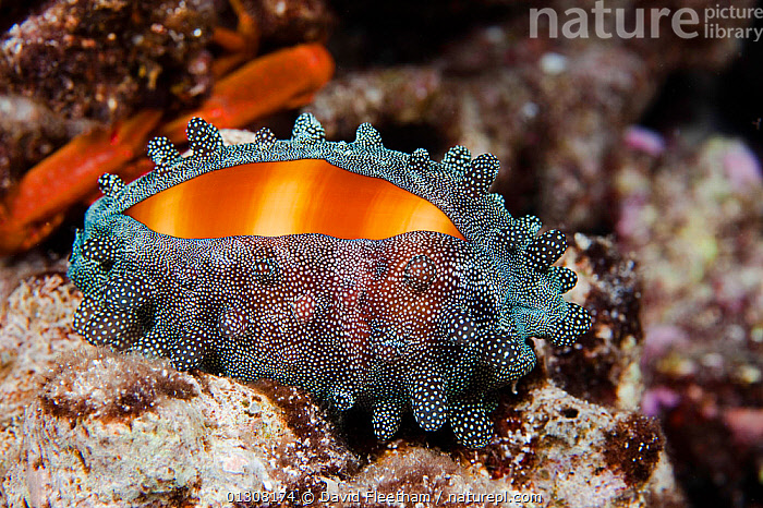 Mole cowrie (Cypraea talpa) with mantle partially covering shell at night. Hawaii., GASTROPODS,HAWAII,INVERTEBRATES,MARINE,MOLLUSCS,NIGHT,PACIFIC,PACIFIC ISLANDS,SNAILS,TROPICAL,UNDERWATER,USA,North America, David Fleetham