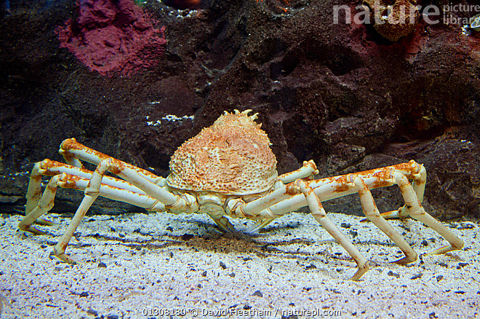 Japanese spider crab (Macrocheira kaempferi) the largest arthropod in the world in terms of leg span, reaching over 12 feet and weighing up to 41 pounds, Japan., ARTHROPODS,ASIA,CRABS,CRUSTACEANS,INVERTEBRATES,JAPAN,MARINE,TROPICAL,UNDERWATER, David Fleetham