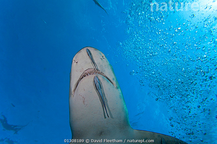 Sharksucker (Echeneis naucrates) attached to Lemon shark (Negaprion brevirostris). Grand Bahamas, Caribbean., ATLANTIC,BEHAVIOUR,CARIBBEAN,CHONDRICHTHYES,FISH,LOW ANGLE SHOT,MARINE,OSTEICHTHYES,PARASITES,REMORAS,SHARKS,SYMBIOSIS,TROPICAL,UNDERWATER,VERTEBRATES,WEST INDIES,Concepts,Partnership, David Fleetham