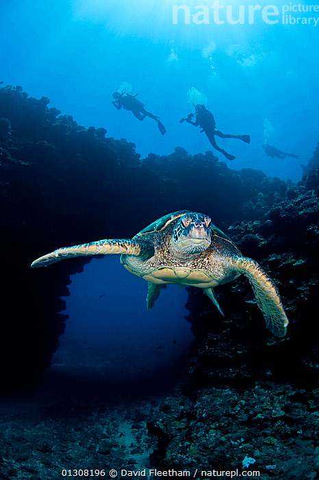 Green turtles (Chelonia mydas) with divers exploring archway beyond. Lanai, Hawaii., ATTITUDE,CHELONIA,CONCEPTS,DIVING,ENDANGERED,HAWAII,MARINE,PACIFIC ISLANDS,PEOPLE,PORTRAITS,REPTILES,SEA TURTLES,TROPICAL,TURTLES,UNDERWATER,VERTICAL,USA,North America, David Fleetham