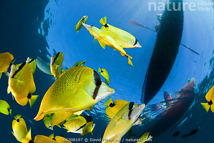 Schooling Lemon / Milletseed butterflyfish (Chaetodon miliaris) below kayakers off Maui, Hawaii., BUTTERFLYFISH,FISH,GROUPS,HAWAII,INTERESTING,KAYAKING,KAYAKS,LOW ANGLE SHOT,MARINE,OSTEICHTHYES,PACIFIC,PACIFIC ISLANDS,SILHOUETTES,SURFACE,TROPICAL,UNDERWATER,VERTEBRATES,YELLOW,USA,SPORTS,WATERSPORTS,BOATS,North America, David Fleetham