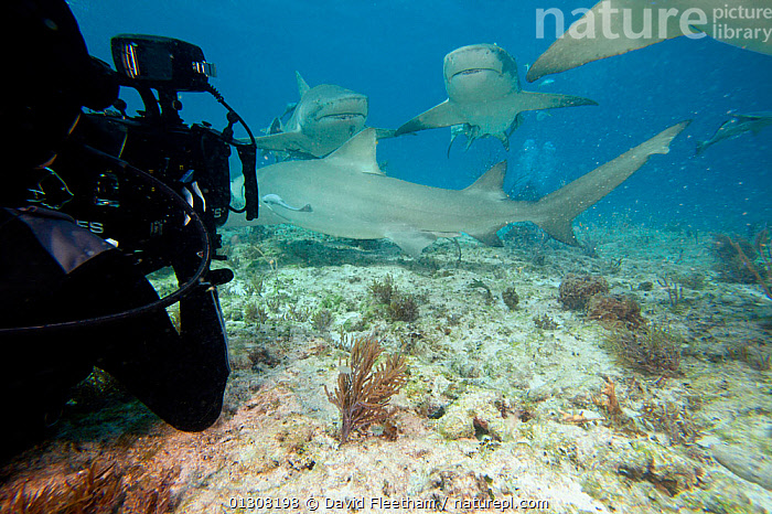 Cameraman filming Lemon sharks (Negaprion brevirostris) attracted by bait, West End, Grand Bahamas, Caribbean., ATLANTIC,CARIBBEAN,CHONDRICHTHYES,DIVING,FILMING,FISH,GROUPS,HAWAII,INTERACTION,MARINE,PACIFIC ISLANDS,PEOPLE,SEA BED,SHARKS,TROPICAL,UNDERWATER,VERTEBRATES,WEST INDIES,USA,North America, David Fleetham