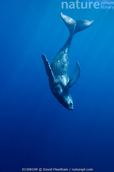Curious Humpback whale calf (Megaptera novaeangliae) during moment away from its mother, Hawaii., BABIES,BLUE,CETACEANS,HAWAII,MAMMALS,MARINE,PACIFIC,PACIFIC ISLANDS,TROPICAL,UNDERWATER,UPSIDE DOWN,VERTEBRATES,VERTICAL,WHALES,USA,North America, David Fleetham