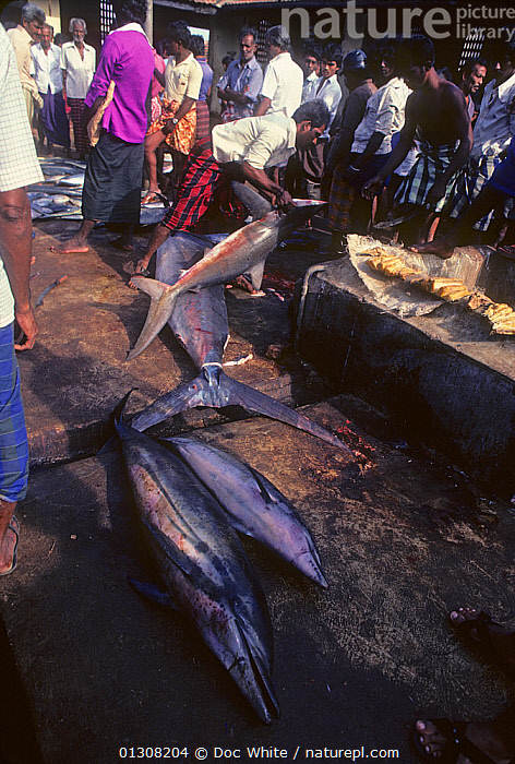 Dead Bottlenose dolphin (Tursiops truncatus) for sale in market, India, BOTTLENOSE,CETACEANS,DOLPHINS,INDIAN SUBCONTINENT,MAMMALS,MARINE,MARKET,PEOPLE,TRADE,VERTEBRATES,VERTICAL,INDIAN-SUBCONTINENT,Asia,core collection xtwox, Doc White
