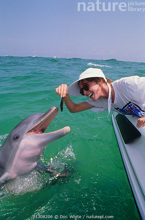 Woman feeding fish to wild Bottlenosed dolphin (Tursiops truncatus) from boat, Gulf of Mexico, Atlantic. Model released, BEHAVIOUR,BOATS,BOTTLENOSE,CETACEANS,DOLPHINS,FEEDING,MAMMALS,MARINE,PEOPLE,SURFACE,TROPICAL,VERTEBRATES,VERTICAL,WOMAN, Doc White