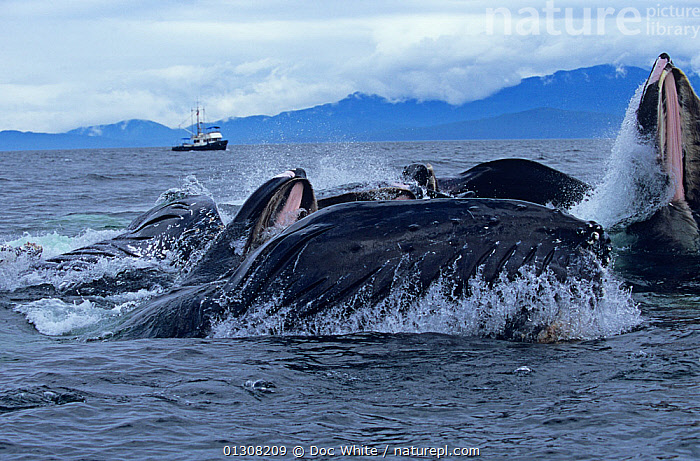 Humpback whales (Megaptera novaeangliae) bubble net feeding, Alaska, Eastern pacific, BEHAVIOUR,BOATS,CETACEANS,COASTAL WATERS,FEEDING,GROUPS,MAMMALS,MARINE,SURFACE,TEMPERATE,VERTEBRATES,WHALES,USA,North America,core collection xtwox, Doc White