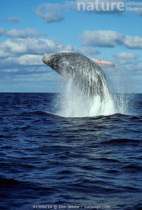 Humpback whale (Megaptera novaeangliae) breaching, Eastern Pacific, ACTION,BREACHING,CETACEANS,JUMPING,MAMMALS,MARINE,POWERFUL,SURFACE,TEMPERATE,VERTEBRATES,VERTICAL,WHALES,Concepts, Doc White