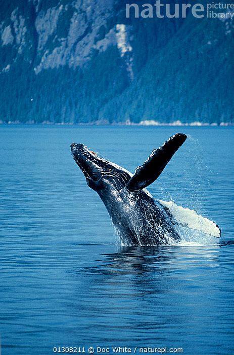 Humpback whale (Megaptera novaeangliae) breaching, Alaska, Eastern Pacific, BEHAVIOUR,CETACEANS,COSTAL WATERS,MAMMALS,MARINE,PACIFIC,SURFACE,TEMPERATE,USA,VERTEBRATES,VERTICAL,WHALES,North America,core collection xtwox, Doc White