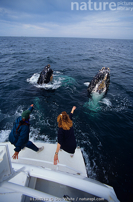 Women on boat reach out towards two Humpback whales (Megaptera novaeangliae) spy-hopping, Eastern Pacific, BEHAVIOUR,BOATS,CETACEANS,MAMMALS,MARINE,PACIFIC,PEOPLE,SURFACE,TEMPERATE,TWO,VERTEBRATES,VERTICAL,WHALES,WHALE WATCHING,core collection xtwox, Doc White