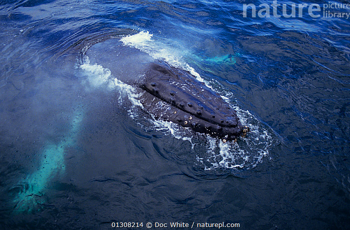 Humpback whale (Megaptera novaeangliae) at surface, Eastern Pacific, CETACEANS,HIGH ANGLE SHOT,MAMMALS,MARINE,PACIFIC,SURFACE,TEMPERATE,VERTEBRATES,WHALES,core collection xtwox, Doc White