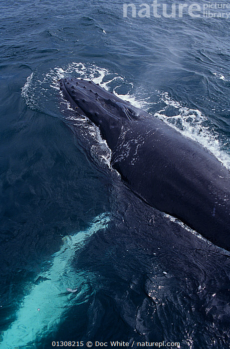 Humpback whale (Megaptera novaeangliae) blowing at surface, Eastern Pacific, BLOWHOLE,BREATHING,CETACEANS,MAMMALS,MARINE,PACIFIC,SURFACE,TEMPERATE,VERTEBRATES,VERTICAL,WHALES, Doc White