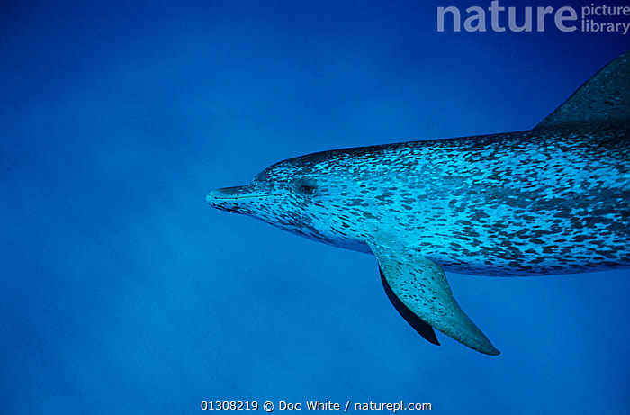 Pantropical spotted dolphin (Stenella attenuata) Eastern pacific, BLUE,CETACEANS,DOLPHINS,MAMMALS,MARINE,PORTRAITS,PROFILE,TROPICAL,UNDERWATER,VERTEBRATES,core collection xtwox, Doc White