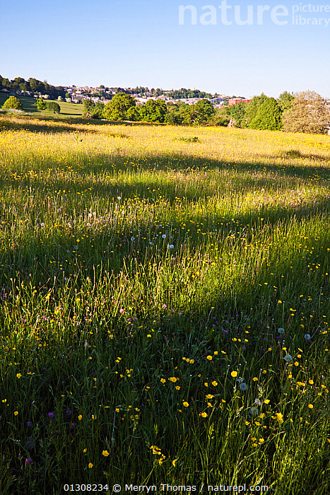 Meadow in Ashton Court, Bristol, England, UK. May 2010., COUNTRYSIDE,ENGLAND,EUROPE,LANDSCAPES,MEADOWLAND,PARKS,SUMMER,TREES,UK,URBAN,VERTICAL,Grassland,PLANTS,United Kingdom, Merryn Thomas