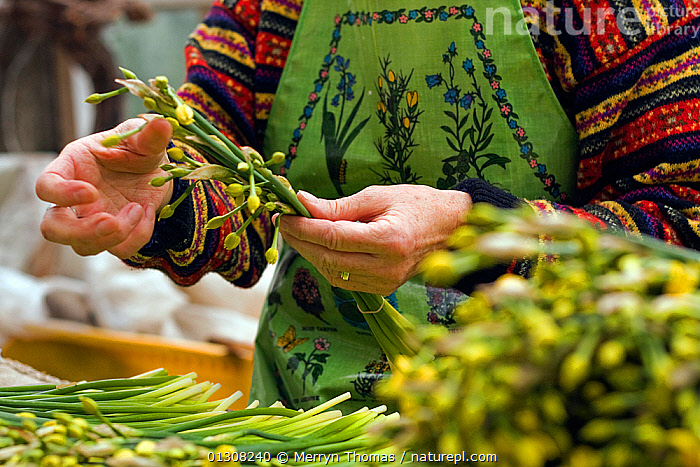 Tying Narcissi in packing shed, St. Martin's. Isles of Scilly, December 2009., AMARYLLIDACEAE,BUNCHES,CULTIVATED,ENGLAND,FLOWERS,HANDS,MONOCOTYLEDONS,PEOPLE,PLANTS,TRADE,UK,Europe,United Kingdom, Merryn Thomas