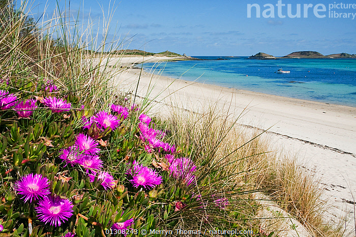Hottentot Figs (Carpobrotus edulis) in marram grass on Par Beach, St. Martin's, Isles of Scilly. May 2010, BEACHES,COASTS,ENGLAND,EUROPE,FLOWERS,LANDSCAPES,PINK,SAND,UK,United Kingdom,core collection xtwox, Merryn Thomas