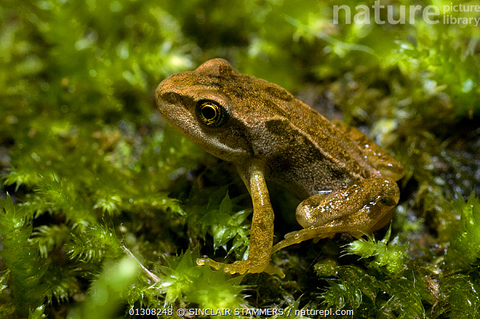 Common frog (Rana temporaria) young adult sitting on pond weed, UK, AMPHIBIANS,ANURA,EUROPE,FROGLET,FROGS,JUVENILE,METAMORPHOSIS,SITTING,UK,VERTEBRATES,Growth,United Kingdom, SINCLAIR STAMMERS