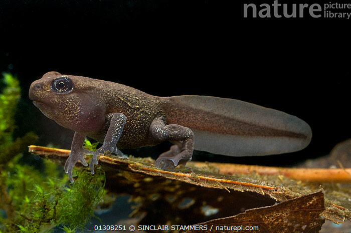 Tadpole of the Common / European Toad ( Bufo bufo) with front and back legs,  on a submerged decaying leaf. Controlled conditions, from pond in Dolbryn, Wales, UK, AMPHIBIANS,ANURA,EUROPE,FRESHWATER,JUVENILE,LEGS,METAMORPHOSIS,TEMPERATE,TOADS,UK,UNDERWATER,VERTEBRATES,Growth,United Kingdom, SINCLAIR STAMMERS