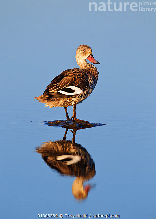 Cape Teal [Anas capensis] standing on stone in water, reflection, Etosha National Park, Namibia, August, AFRICA,BIRDS,DUCKS,NAMIBIA,NP,PORTRAITS,REFLECTIONS,RESERVE,SOUTHERN AFRICA,VERTEBRATES,VERTICAL,WATER,WATERFOWL,National Park, Tony Heald