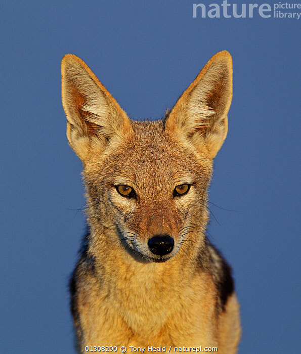 Black-backed jackal [Canis mesomelas] portrait, Etosha National Park, Namibia, August, AFRICA,CANIDS,CARNIVORES,CUTOUT,EYES,FACES,JACKALS,MAMMALS,NAMIBIA,NP,PORTRAITS,RESERVE,SOUTHERN AFRICA,VERTEBRATES,VERTICAL,National Park,Dogs, Tony Heald