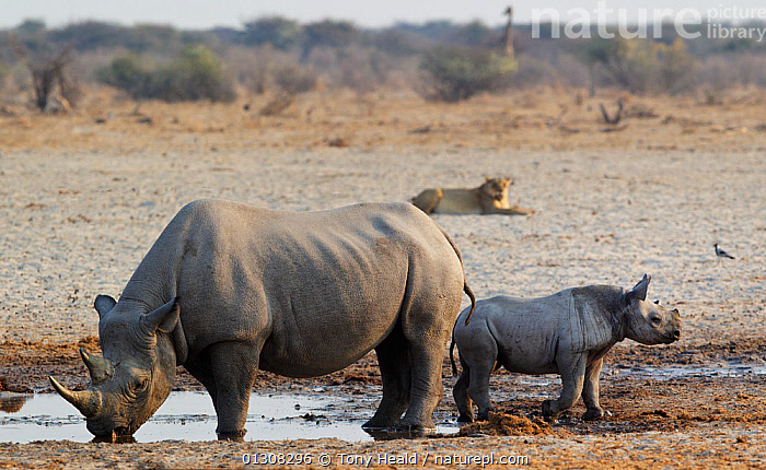 Black Rhinoceros [Diceros bicornis] mother and baby at waterhole, seemingly relaxed about nearby lioness, Etosha National Park, Namibia, August, AFRICA,BABIES,DESERTS,DRINKING,ENDANGERED,FAMILIES,HABITAT,LION,MAMMALS,MIXED SPECIES,MOTHER BABY,NAMIBIA,NP,PERISSODACTYLA,RESERVE,RHINO,RHINOCEROSES,RHINOCEROTIDAE,SOUTHERN AFRICA,VERTEBRATES,WATER,WATERHOLE,National Park , rhino, Rhinoceros, Rhinos,, Tony Heald