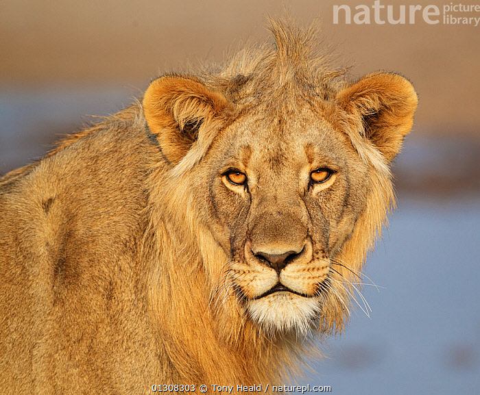 African lion (Panthera leo) juvenile male portrait, Etosha National Park, Namibia, August, AFRICA,BIG CATS,CARNIVORES,EYES,JUVENILE,LIONS,MALES,MAMMALS,NAMIBIA,NP,PORTRAITS,RESERVE,SOUTHERN AFRICA,VERTEBRATES,WATERHOLE,National Park, Tony Heald