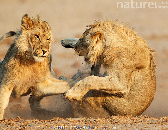 African lion (Panthera leo) juvenile males play fighting, Etosha National Park, Namibia, August, ACTION,AFRICA,AGGRESSION,BEHAVIOUR,BIG CATS,CARNIVORES,FIGHTING,LIONS,MALES,MAMMALS,NAMIBIA,NP,PLAY,PLAYING,RESERVE,SOUTHERN AFRICA,TWO,VERTEBRATES,Concepts,National Park,Communication, Tony Heald