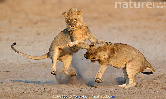 African lion (Panthera leo) juvenile males play fighting, Etosha National Park, Namibia, August, ACTION,AFRICA,AGGRESSION,BEHAVIOUR,BIG CATS,CARNIVORES,FIGHTING,JUVENILE,LIONS,MALES,MAMMALS,NAMIBIA,NP,PLAY,PLAYING,RESERVE,SOUTHERN AFRICA,TWO,VERTEBRATES,Concepts,National Park,Communication, Tony Heald