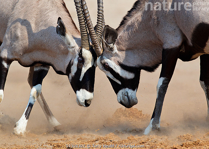 Gemsbok [Oryx gazella] two males fighting, Etosha National Park, Namibia, August, AFRICA,AGGRESSION,ARTIODACTYLA,BOVIDS,FIGHTING,HORNS,MALES,MAMMALS,NAMIBIA,NP,ORYXES,RESERVE,SOUTHERN AFRICA,TWO,VERTEBRATES,Concepts,National Park, Tony Heald